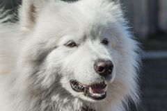 Samoyed dog adult close-up portrait Royalty Free Stock Images