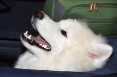 Samoyed dog airport Royalty Free Stock Photo