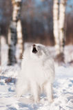 Samoyed dog barking Stock Image