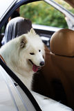 Samoyed dog in a car Royalty Free Stock Photography