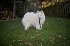 Samoyed dog carrying a stick Stock Photography
