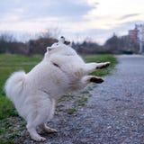 Samoyed dog catching the ball Stock Photo