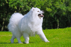Samoyed dog - Champion of Russia. Samoyed dog plays in field Royalty Free Stock Images