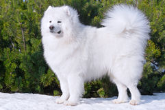 Samoyed dog - Champion of Russia. Samoyed dog on green background Stock Image