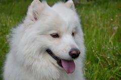Samoyed dog close up. Samoiedskaya sobaka or nenetskaya laika. Royalty Free Stock Photos