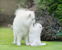 Samoyed dog. Dog mother with puppy playing. On grass Royalty Free Stock Photo