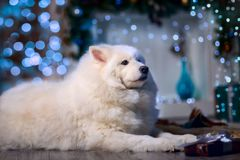 The Samoyed dog funny portrait Stock Photo