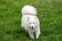 Samoyed dog Royalty Free Stock Image