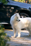 Samoyed dog in a garden Royalty Free Stock Photography