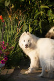 Samoyed dog in a garden Stock Images