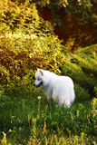 Samoyed dog in a garden Royalty Free Stock Images