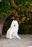Samoyed dog in a garden Stock Photos