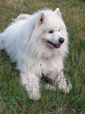 Samoyed dog on green grass. Samoyed dog laying down with his stick on the green grass Stock Photos