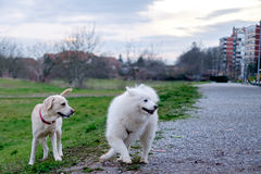 Samoyed dog and her friend Royalty Free Stock Images