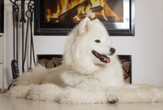 Samoyed dog at home by fireplace Royalty Free Stock Images