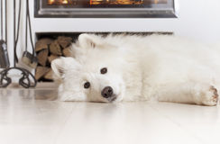 Samoyed dog at home Royalty Free Stock Image