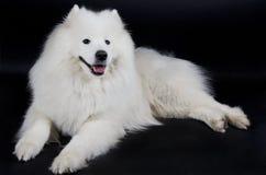 Samoyed dog Royalty Free Stock Photo
