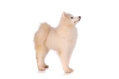 Samoyed dog. Isolated on white background Stock Photos
