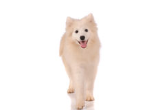 Samoyed dog isolated Stock Photos
