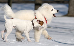 Samoyed dog and Jack Russel terrier. Play Royalty Free Stock Photography