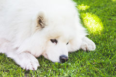 Samoyed dog lays on a green grass, closeup Stock Photo
