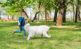 A samoyed dog and a little hipster run through the park on the grass in spring royalty free stock images