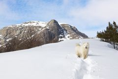Samoyed dog in mountains. Royalty Free Stock Image