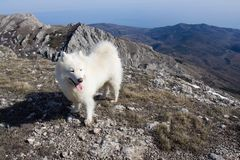 Samoyed dog in mountains. Stock Photo