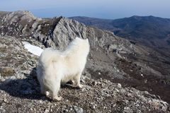 Samoyed dog in mountains. Royalty Free Stock Images