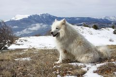 Samoyed dog in mountains. Stock Images