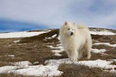 Samoyed dog in mountains. Royalty Free Stock Photos