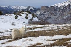 Samoyed dog in mountains. Stock Image