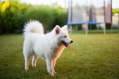 Samoyed dog outdoor Royalty Free Stock Photos