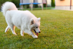Samoyed dog outdoor Stock Photo