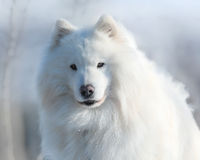 Samoyed dog Stock Images