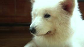 Samoyed dog portrait in domesticated pet.
