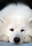 Samoyed dog portrait, its head is put on the paws. Dark blue background Royalty Free Stock Photo