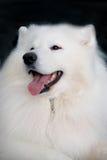 Samoyed dog portrait with open mouth (smiling). Dark blue background Stock Photos