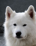 Samoyed dog portrait Stock Image