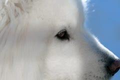 Samoyed dog profile  closeup Royalty Free Stock Photography