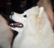 Samoyed dog Royalty Free Stock Photos