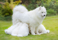 Samoyed dog puppies suckling mother. Samoyed dog puppies, 6 weeks old, suckling mother, in front of nature background Stock Photo