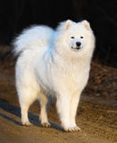 Samoyed dog puppy. Age 1 year. Samoyed dog puppy stand on sand at sunset. Age 1 year Royalty Free Stock Images