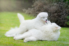 Samoyed dog with puppy. Lying on grass Royalty Free Stock Image