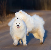 Samoyed dog with puppy playing on sandy road at sunset. Springtime square outdoors image Stock Photos