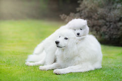 Samoyed dog with puppy of Samoyed dog. Lying on grass Royalty Free Stock Photos