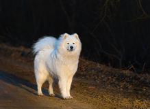 Samoyed dog puppy stand on sandy road at sunset. Springtime horizontal outdoors image Stock Images