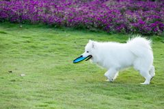 Samoyed dog running. And hold a dish in mouth Royalty Free Stock Images
