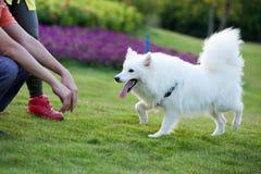 Samoyed dog running. To the master Stock Photos