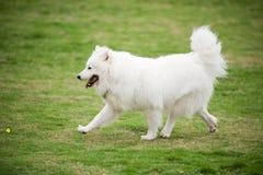 Samoyed dog running stock images